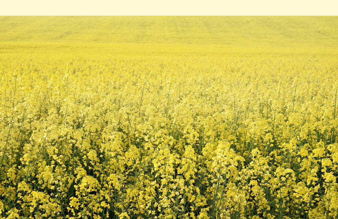 DEKALB healthy canola field