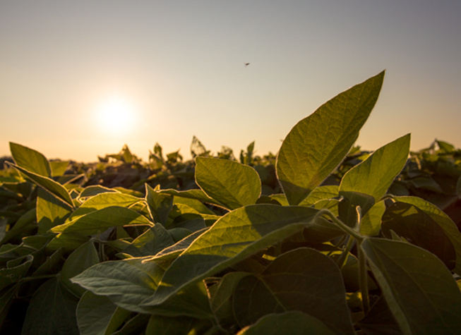 DEKALB Asgrow Deltapine soybeans during midseason at sunset